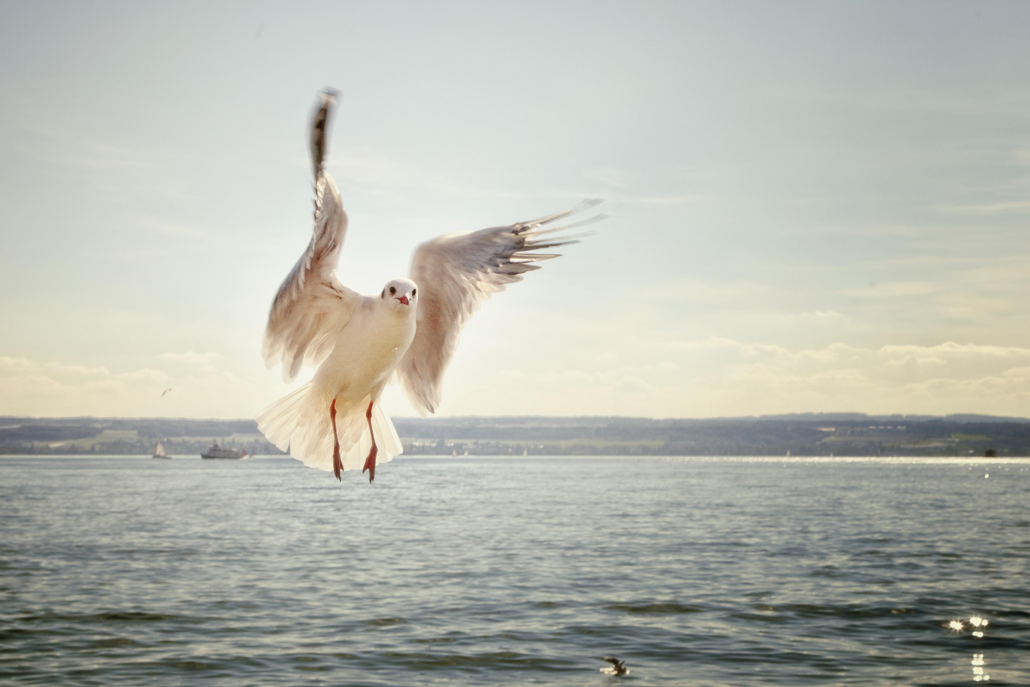 Mouette en vol Lac de Constance